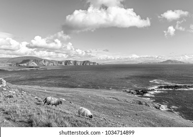 beautiful black and white rural irish country nature sheep landscape from the north west of ireland. scenic achill island along the wild atlantic way. famous irish tourism attraction.