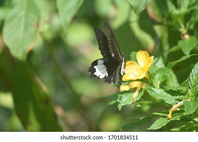Beautiful  black and whtie swallowtail butterfly with big wings