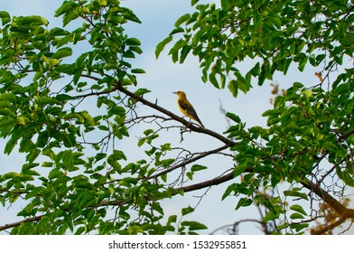 Beautiful black and yellow bird oriole (Oriolus oriolus) perching on a branch.