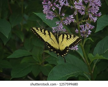 Beautiful black and yellow butterfly on a light purple lilac bush with a green background.