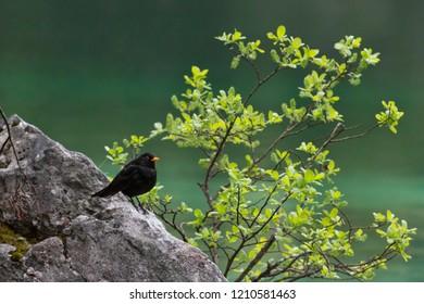 Beautiful blackbird, Eurasian blackbird, Turdus merula, in Dolomites Mountains, Italy