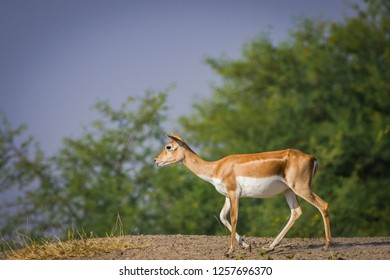 A beautiful blackbuck female roaming around in a green background and morning light at tal chappar blackbuck sanctuary. This sanctuary also famous for raptors.
