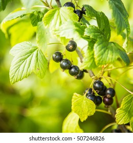 Beautiful blackcurrants with leaves
