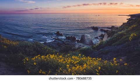 Beautiful black-eyed susan flowers and cliff-side sunset during the California Super Bloom of 2017, Corona Del Mar, California