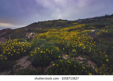Beautiful black-eyed susan flowers covering the cliffs during the California Super Bloom of 2017, Rancho Palos Verdes, California
