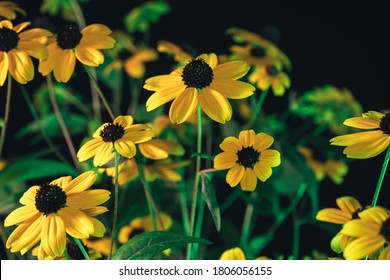 Beautiful Black-Eyed Susans flower on a garden and  bokeh background texture. Macro photography view.