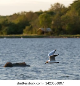 Beautiful Black-headed Gull in flight over the water with green forest in the background