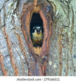 Beautiful Black-thighed falconet (Microhierax fringillarius) in the hole, bird of Thailand