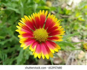 A beautiful blanketflower wildflower in West Texas.