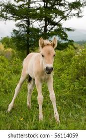 beautiful blond foal grazes in field