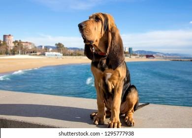 Beautiful Bloodhound puppy at 5 months.