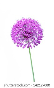 Beautiful blooming allium isolated on white close up