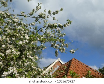 beautiful blooming apple tree in the netherlands in spring