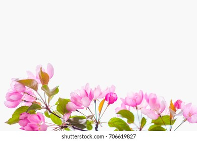 Beautiful blooming apple tree with space for text