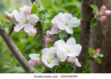 Beautiful blooming apple tree in spring time