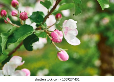 beautiful blooming apple trees orchard in spring garden close up