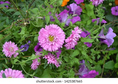Beautiful blooming asters of pink and white flowers. Autumn garden, home flower bed. Autumn landscape with aster. Selective focus