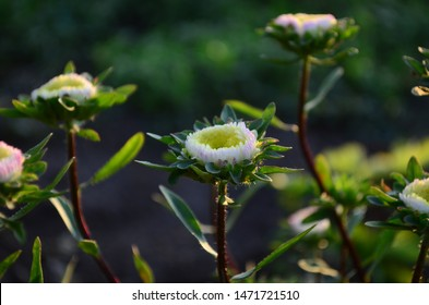 Beautiful blooming asters of pink and white flowers, other inflorescences. Autumn garden, home flower bed. Autumn landscape with aster. Selective focus