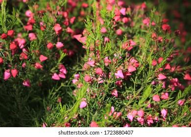 Beautiful blooming boronia in sunny May