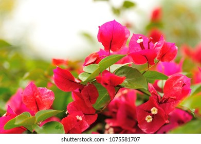 Beautiful blooming bougainvillea flowers in spring after rain