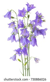 beautiful blooming bouquet blue bell flower isolated on white background, close up