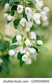 Beautiful blooming branch of apple tree flowers