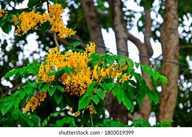 Beautiful blooming Burmese Rosewood (Pterocarpus indicus Willd), yellow flowers in the park.