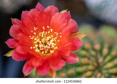 Beautiful blooming cactus flower. Macro closeup. Soft focus.