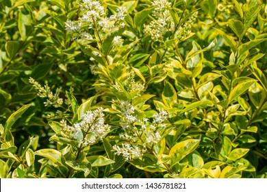 Beautiful blooming California privet, Ligustrum Ovalfolium in June