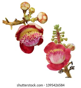 Beautiful blooming Cannonball flowers isolated on white background. Cannonball flowers of Cannonball Tree or Sal Tree in the temple, image with clipping path. Religion&culture background idea concept.