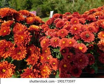 beautiful blooming chrysanthemum with red petals