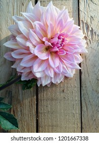 Beautiful blooming Dahlia flower, close up, wooden rustic background
