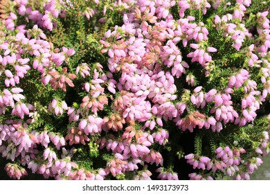 Beautiful blooming erica in August