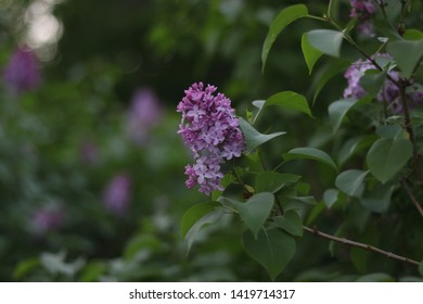 beautiful blooming flowers of lilac and some green leaves