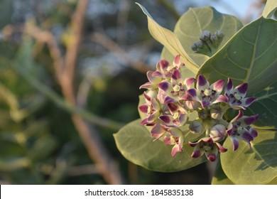 Beautiful blooming giant milkweed flower blossom in Aruba.