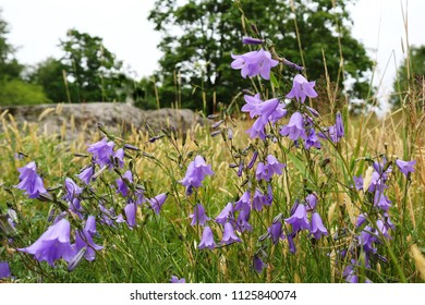 Beautiful blooming harebells, Campanula rotundifolia in a meadow, close up photo, low angle. Roadside view of flowering wildflowers