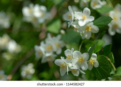 Beautiful blooming jasmine branch with white flowers at sunlight in summer sunny day. Tender white petals and yellow stamens of jasmine flowers close up. Beauty of jasmine blossoms.