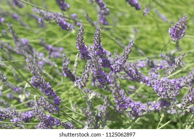 Beautiful Blooming Lavender