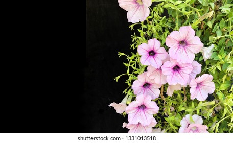 Beautiful blooming light purple Common Garden Petunia flower in surfinia group (Petunia x hybrida) with against black background with copyspace for insert text  which use as ornamental flowering plant
