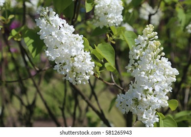 Beautiful blooming lilac