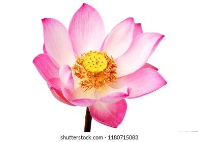beautiful blooming lotus(water lily) flower isolated on white background