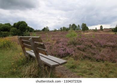 Beautiful blooming Lueneburger Heath