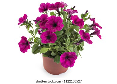 Beautiful blooming magenta petunia flowers in flower pot, closeup, isolated on white background. Petunia hybrida in bloom, close up.