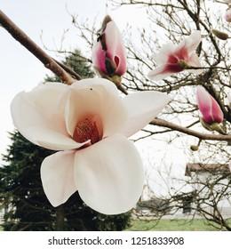 Beautiful blooming magnolia flower, close up