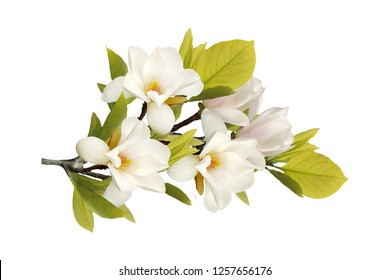 Beautiful blooming magnolia flower isolated on white background.