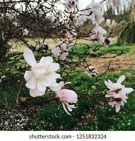Beautiful blooming magnolia flowers