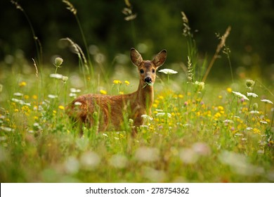 Beautiful blooming meadow with many white and yellow flowers and animal, Roe deer, Capreolus capreolus, chewing green leaves.