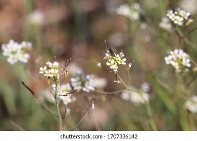 Beautiful blooming mouse-ear cress in April, Arabidopsis thaliana