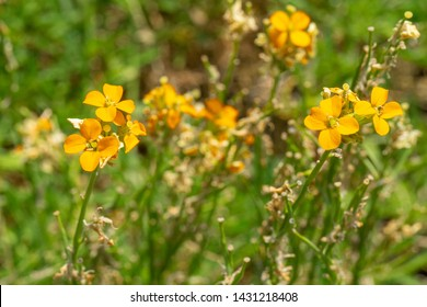 Beautiful blooming orange wallflower in June