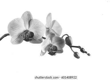 Beautiful blooming orchid on a white background